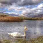 Swan on Elterwater- gallery